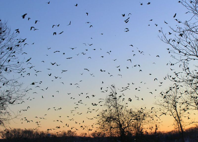 A winter crow roost (Contributed photo)