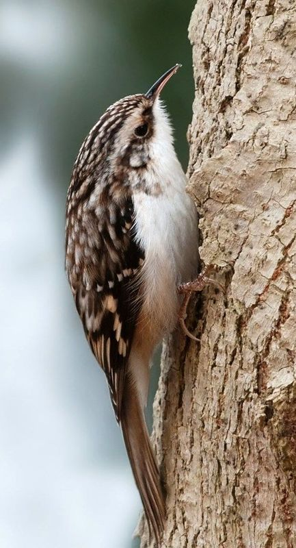 A brown creeper (Contributed photo)