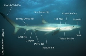 Know your aquatic creatures – archshrk