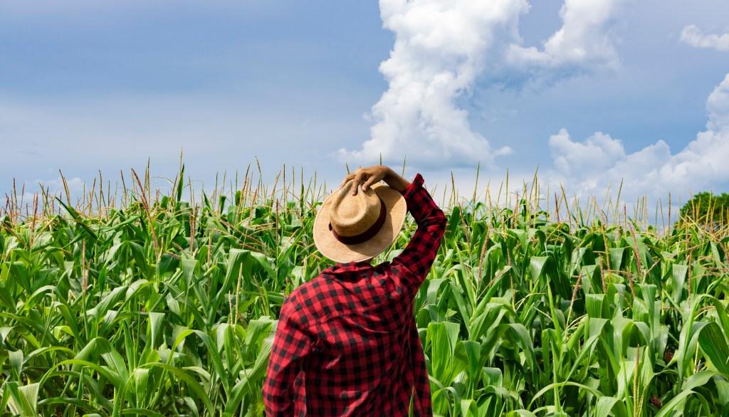 immigrant farm worker standing in a corn plantation field