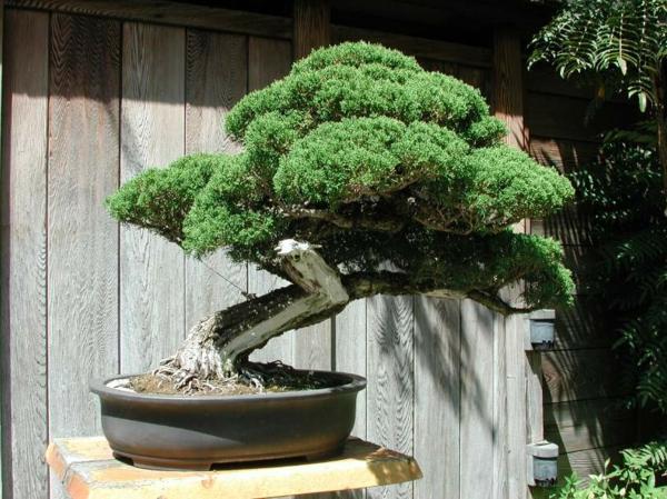 Un arbre bonsai  la dcoration par excellence pour lintrieur ou le jardin  Archzinefr