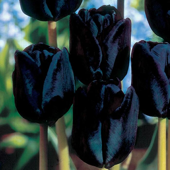 La tulipe noire  40 belles images  Archzinefr
