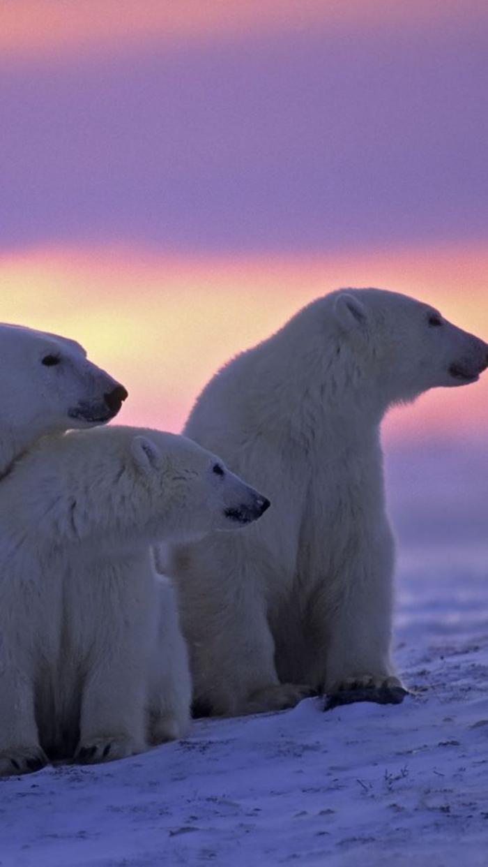 Lours polaire en 44 photographies uniques  Archzinefr