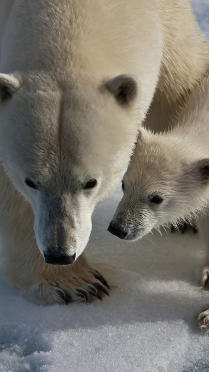 Lours polaire en 44 photographies uniques