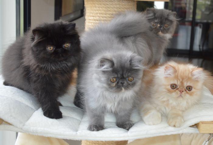 Le chat persan en 67 photos qui vous feront aimer cette race de chats  Archzinefr