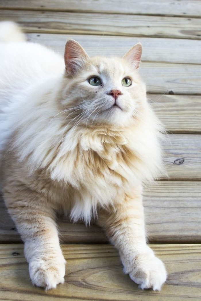 Le Chat Maine Coon Prsent En 69 Photos Amusantes
