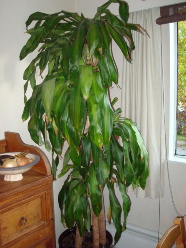 Palmen Zimmerpflanzen Arten  Wohndesign