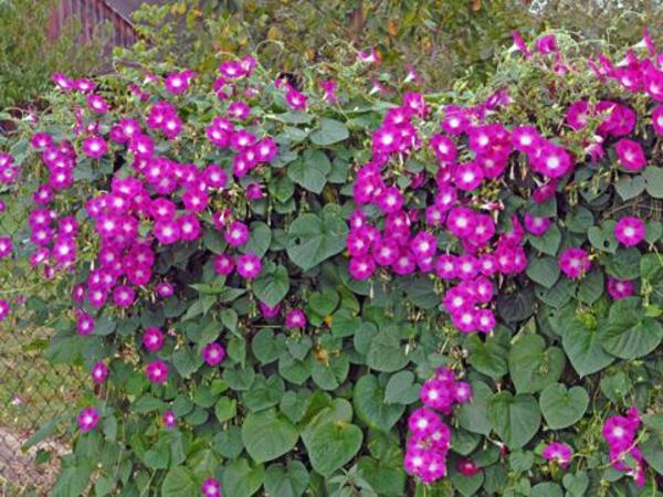 Blhende Kletterpflanzen wunderschne Fotos  Archzinenet