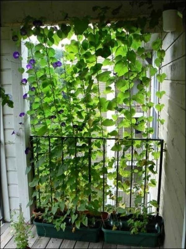 Kletterpflanzen fr Balkon  27 super Ideen
