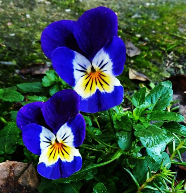 Stiefmtterchen pflanzen  40 coole Bilder  Archzinenet