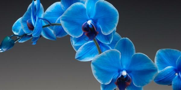 Blaue Orchidee  wunderschne Blume in Blau