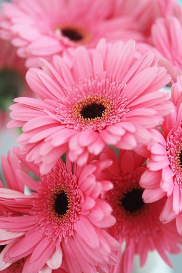Gerbera  Blume mit vielen schnen Farbvarianten  Archzinenet