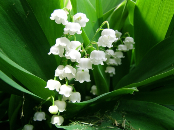Maiglckchen  eine beliebte Frhlingsblume  Archzinenet