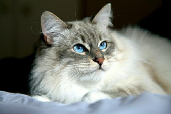 Die sibirische Katze  30 superse Bilder  Archzinenet