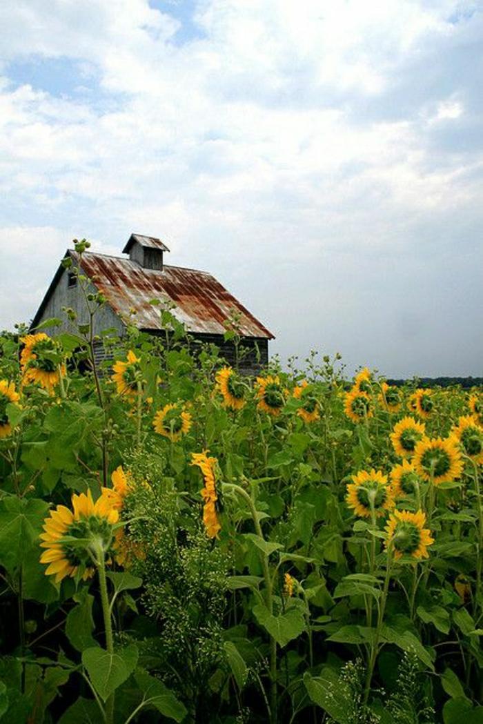 Klassische und alternative Sonnenblumen Bilder  Archzinenet