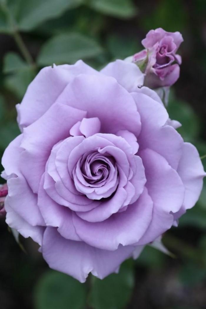 Bilder von Rosen  die Schnheit behalten  Archzinenet