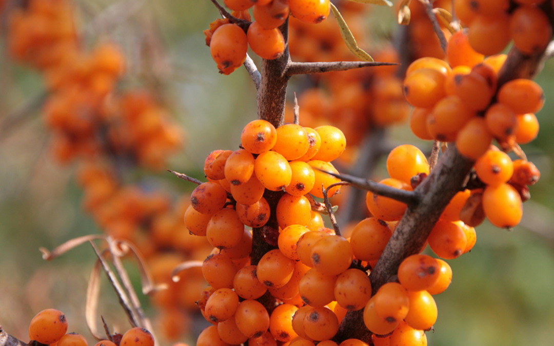 How to choose the best sea buckthorn powder in the market- top 10 tips