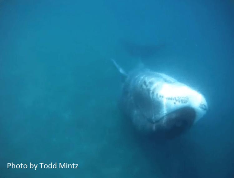 bowhead, underwater
