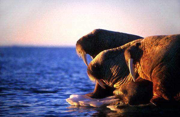 Arctic Kingdom sunset walrus on ice wildlife photography