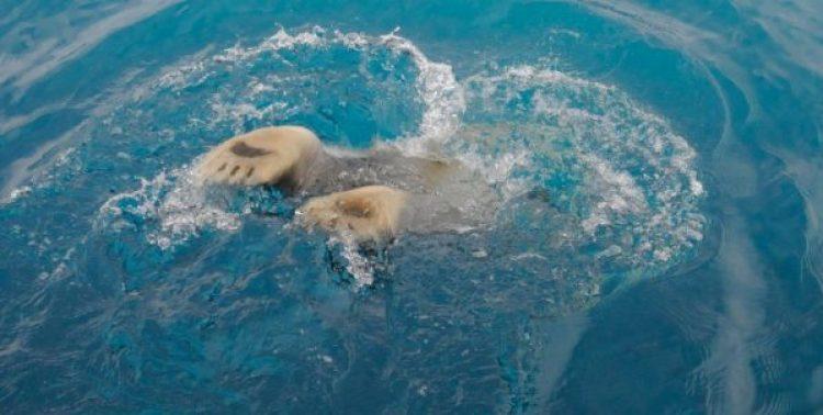 polar bears glaciers of baffin island-arctic kingdom - polar bear swimming