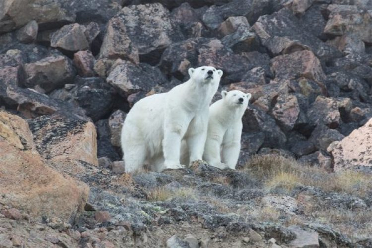 polar bears glaciers baffin island 2016 arctic kingdom