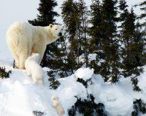 Lynette Reid_Polar_bear_cubs_Canada 2011 610