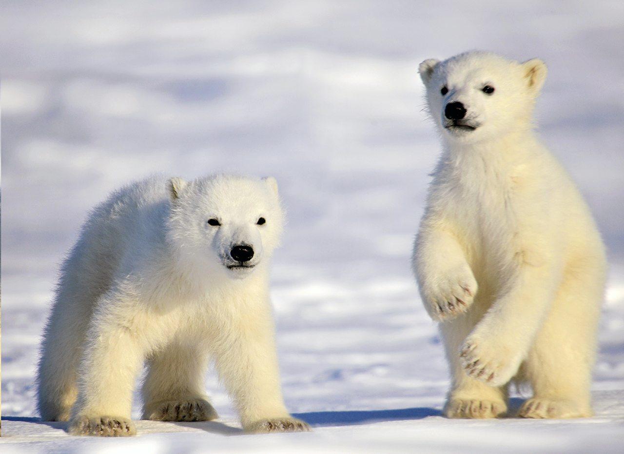 Mother And Cubs Polar Bear Photo Safari