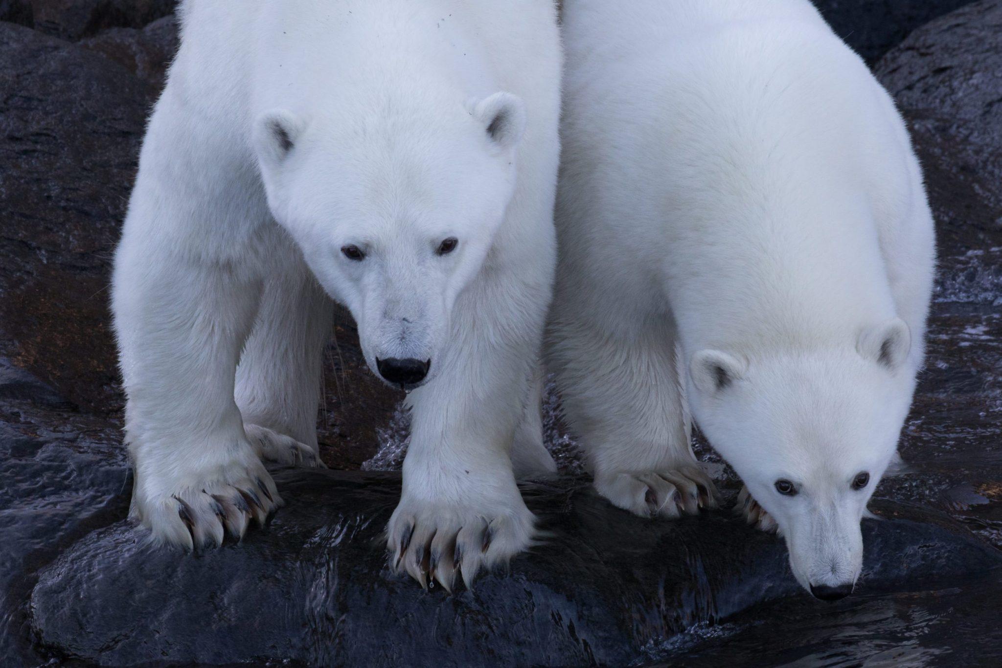 Baffin Island Polar Bears & Glaciers | Arctic Kingdom