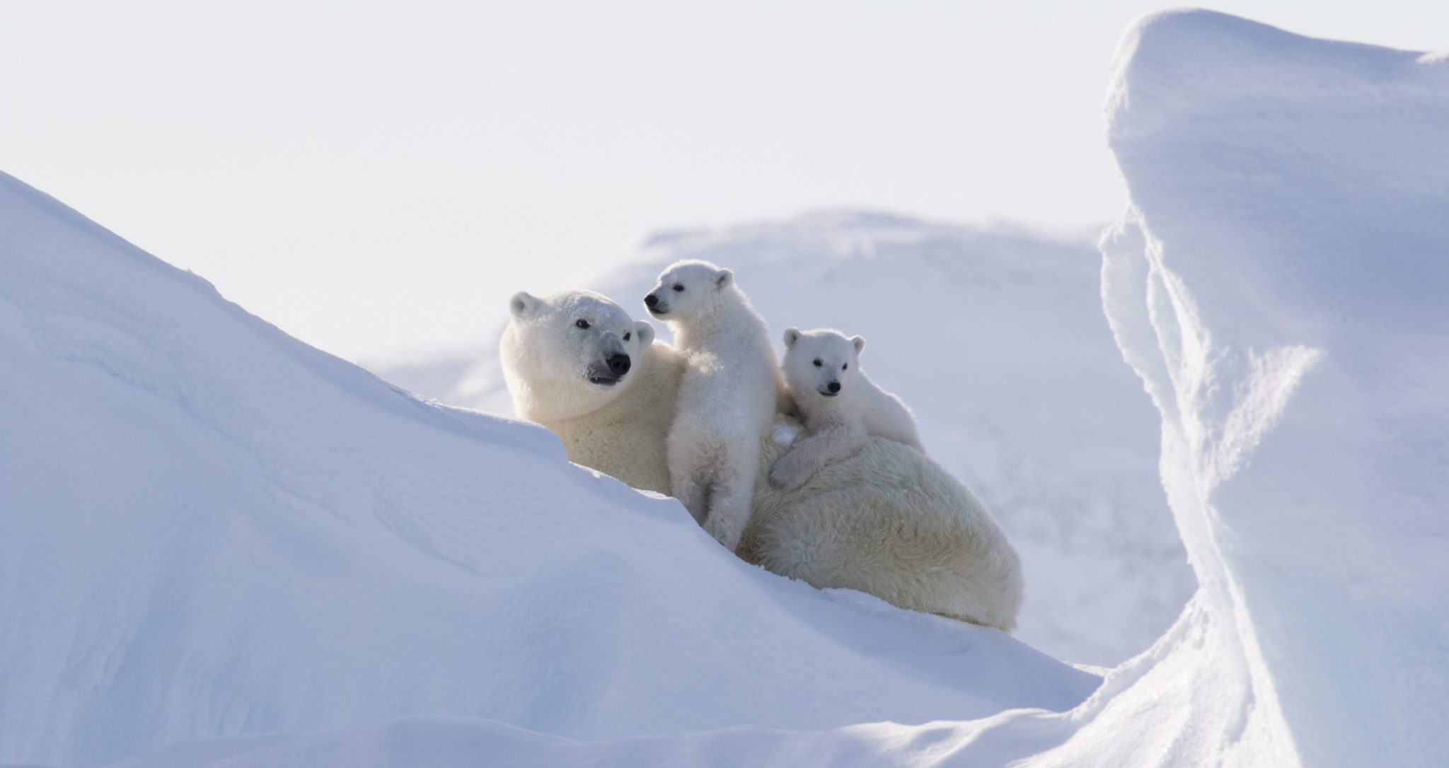 see polar bears in the canadian arctic