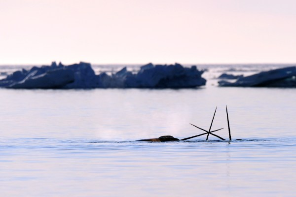 Three narwhals with horns above water