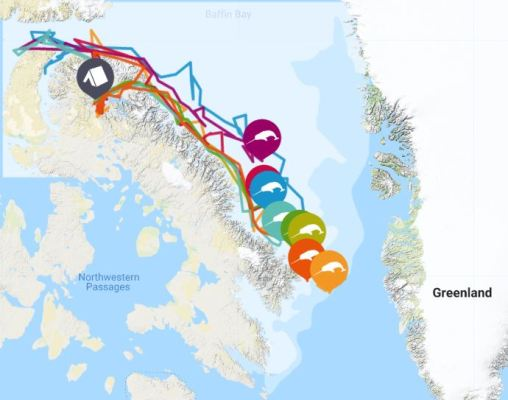 narwhal viewing map along baffin bay