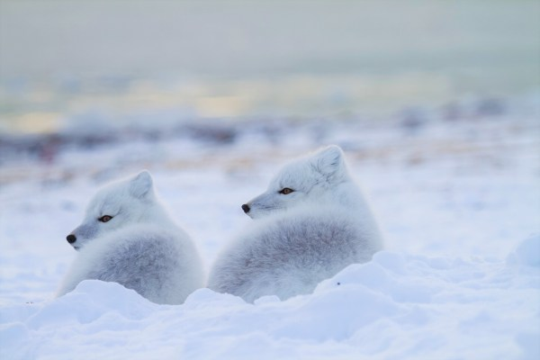 a pair of arctic foxes