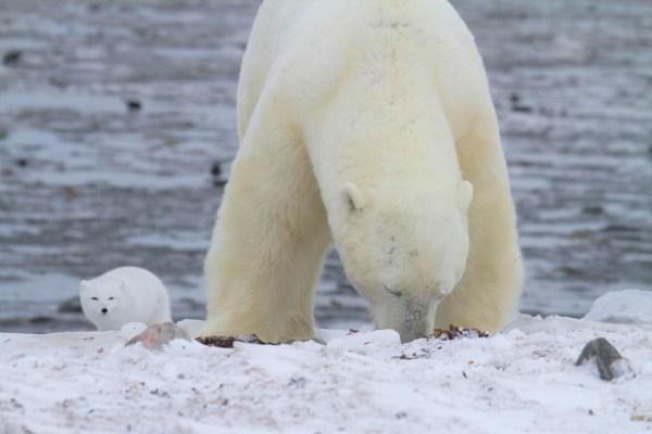 arctic fox waiting while polar bear eats