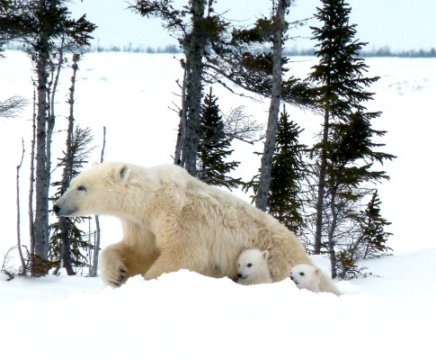 Polar bear cubs emerging from their dens