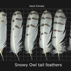 Snowy Owl Adaptations Diagram 1999 Ford Super Duty Radio Wiring Natural Selection Evolution Arctic Owls More Information About The S Adaptation Will Be Mentioned Further Into This Page