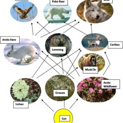 Desert Hawk Diagram 3 Phase Delta Transformer Wiring Food Web Interaction With Explanation - Arctic Tundra