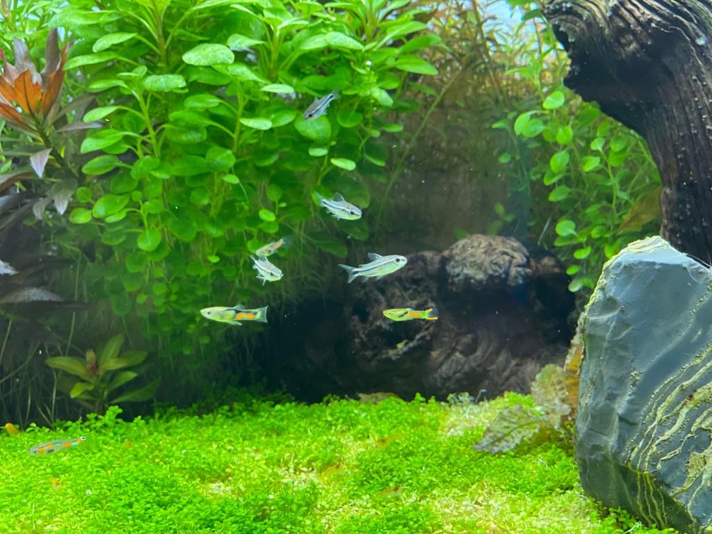Pygmy Corydoras in Planted Aquarium