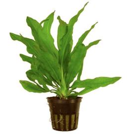 Echinodorus Martii Green