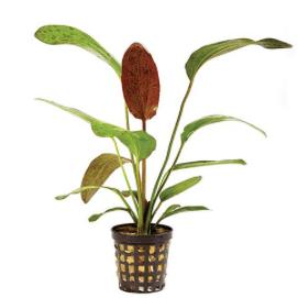 EchinodorusRed Ozelot