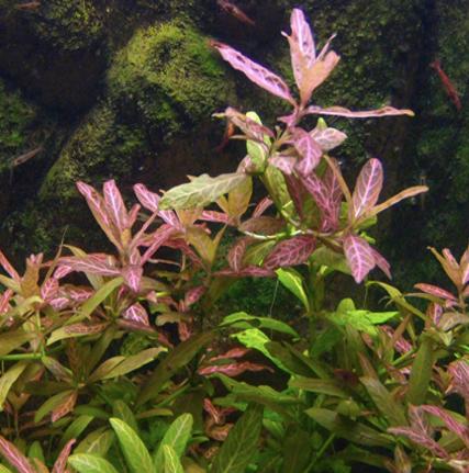 Hygrophila Polysperma (Hygrophila Sunset)