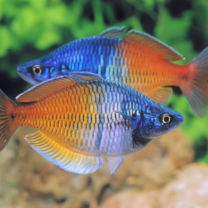 Boesmani Rainbowfish (Melanotaenia boesemani)