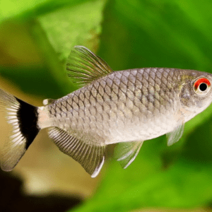 Lamp Eye Tetra (Moenkhausia sanctaefilomenae)