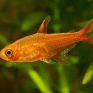 Ember Tetra (Hyphessobrycon amandae)