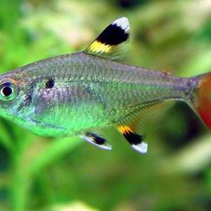 Pristella Tetra (Pristella maxillaris)