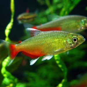Red Belly Tetra (Aphyocharax rathbuni)