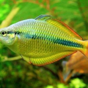 Lake Tebra Rainbowfish (Melanotaenia herbertaxelrodi)