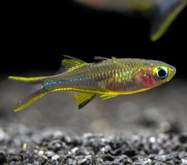 Celebes Rainbowfish (Marosatherina ladigesi)