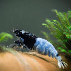 Mosura Blue Bolt Shrimp (Caridina Cantonensis)