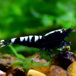 Black Pinto Shrimp (Caridina Cantonensis)