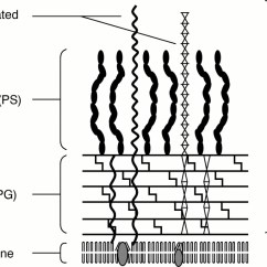 Gram Positive Cell Wall Diagram Denso Alternator 3 Pin Plug Wiring Characterisation Of Eubacterium Peptidoglycan